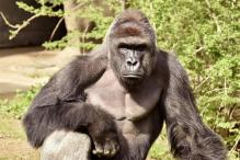 Cincinnati Gorilla Killed After Boy Falls into Zoo Enclosure