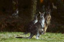 Population Control: Over 1900 Kangaroos to be Culled in Australia