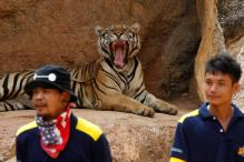 Thai Tiger Temple to Shut Down; 40 Dead Cubs Found in Freezer