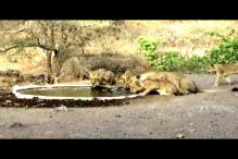Watch: Pride of Lions Quench Their Thirst At Gir National Park