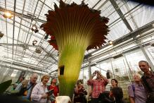 Corpse Flower Bloom After 9 Years; Brings Hundreds to Kerala Garden