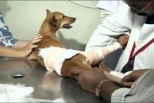 Dog Miraculously Survived After Being Thrown From Rooftop in Chennai