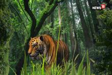 Tigers on Prowl Outskirts of Bhopal, Forest Department on Toes
