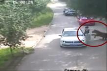 Caught on Cam: Tiger Mauls Woman to Death in Chinese Wildlife Park