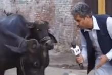 Pakistani Journalist Interviews Cattle And The Package Is Priceless