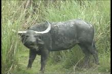 Suspected Anthrax Breakout in Kaziranga Park Kills 7 Wild Buffaloes
