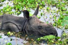 Efforts on to Rescue Rhinos in Flood-hit Kaziranga National Park