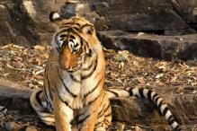 World's Most Photographed Tigress, Machhli, Dies in Ranthambore