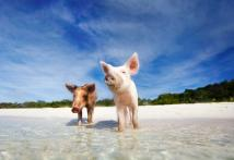 World's Weirdest Beaches: Swimming With Pigs in the Bahamas