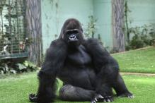 Gorilla Triggers Panic After Fleeing From London Zoo