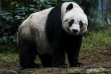 World's Oldest Panda In Captivity Given Euthanasia
