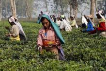 West Bengal Tea Workers Not Getting Wages, State 'Lapses' Blamed