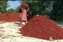 Watch: Demonetisation Cripples Chilli Cultivation In Nagpur