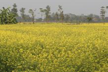 Kerala Assembly Passes Resolution Against GM Mustard
