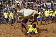 Jallikattu: The Tradition of Bull-taming Sports