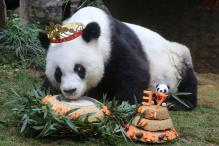 World's Oldest Living Panda in Captivity Celebrates 37th Birthday
