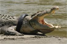 Crocodile Bites Selfie-Seeking French Tourist In Thailand