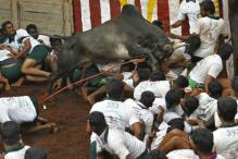 Jallikattu Ban: Panneerselvam to Call on PM Today as Protests Intensify
