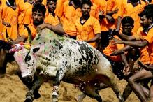 SC Ruling on Jallikattu Violated in Cuddalore