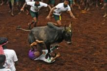 Six Seriously Injured in Jallikattu Event
