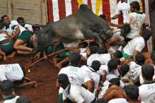 Jallikattu Protests: Madras High Court Declines to 'Interfere'