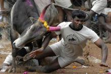 PETA May Take Legal Route if Centre Brings Ordinance on Jallikattu