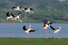 Treat For Bird Watchers: Greater Flamingoes Spotted in Himachal's Pong Wetlands
