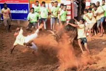 Bull Tamer Among Two Gored to Death in Jallikattu Event, Over 50 hurt