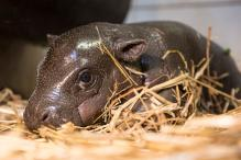 Two Week Old Pygmy hippopotamus in Nyiregyhaza Animal Park