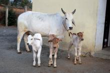 Surcharge of 10% on Stamp Duty For Cow Protection in Rajasthan