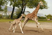 Millions Tune in as April the Giraffe Finally Welcomes Her Calf