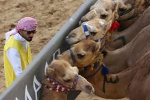 Camel Racing at Dubai's Al Marmoom Heritage Festival