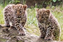Two adorable baby leopard cubs at German zoo