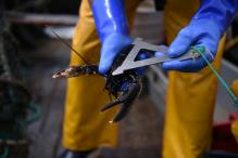 Lobster Freed After Two Decades Incarceration in Seafood Restaurant