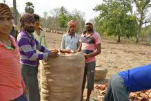 In Bastar, Maoists Make a Killing From Tendu Patta Trade