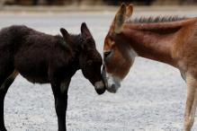 Donkeys Named After Ram Rahim, Honeypreet Sold for Rs 11,000 at Ujjain Fair
