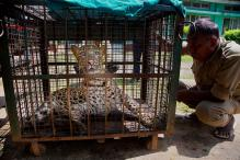 Leopard at Maruti's Manesar Plant Rescued After 36-hour Operation