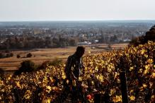 French Wine County Introduces Beef That'll Taste of Burgundy