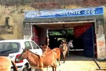 Donkeys Spend Four Days Behind Bars in UP for Eating 'Costly' Plants
