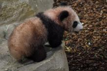 France's First Panda Cub Makes Debut Public Appearance