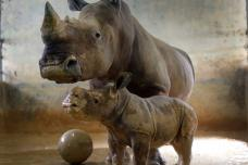 Adorable White Rhino calf at Singapore Zoo