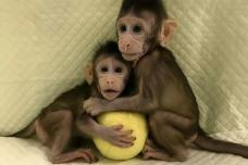 First Monkey Clones Created in Chinese Laboratory​