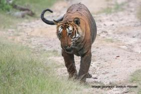 Tiger 'Jai' Named After Big B's Character in Sholay Went Missing in M'rashtra