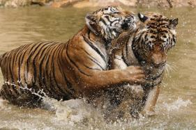 India's Tiger Population To Double By 2022, Says Minister