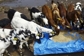 Stolen Goats of SP Legislator Sends Police Into Tizzy in MP Town