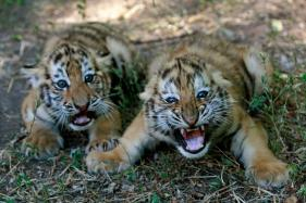 End Breeding of Tigers For Commercial Purposes: NGOs