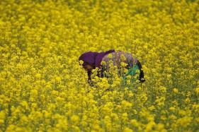 Govt Panel Clears Use of India's First GM Crop But Hurdles Remain: Sources