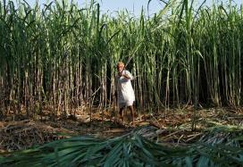 'Sugar Production May Fall Up To 20% Due To Drought In Maharashtra, Karnataka'