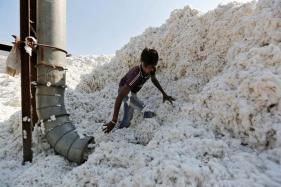 India's Cotton Area Seen Rising 15 Percent to 3-year High as Prices Rally