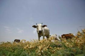 Ban on Cattle Trade Likely to Hit Beef And Leather Exports